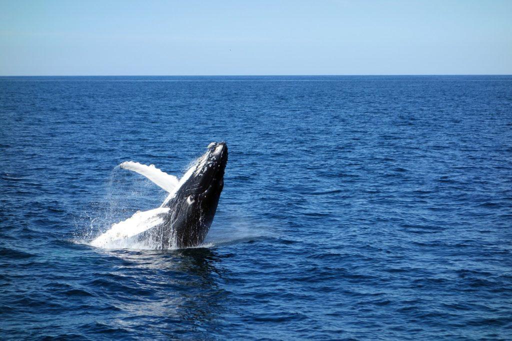 Observation des baleines sur le quai de Havre Saint Pierre